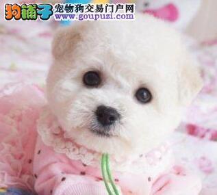 重庆犬舍直销乖巧可爱纽扣眼比熊幼犬包健康签协议
