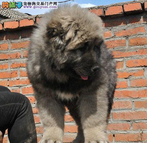 原生态顶级护卫俄系血统贵阳高加索幼犬出售中 签协议