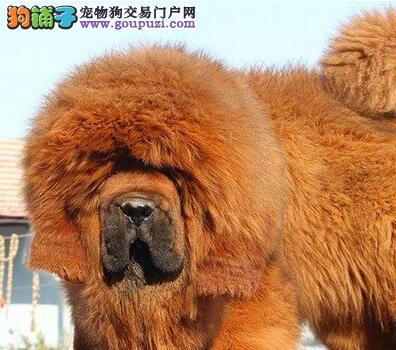 重庆出售狗舍纯种大狮子头藏獒 优质品种保健康