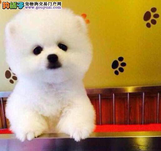 哈多利版球型的南昌博美犬找新家 支持送上门挑选服务
