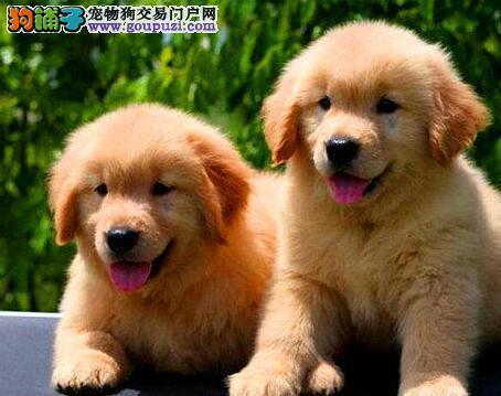 金黄色完美品相的南昌金毛犬找新主人可随时上门看狗