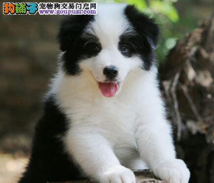 纯种赛级七白到位的武汉边境牧羊犬找新家 非诚勿扰