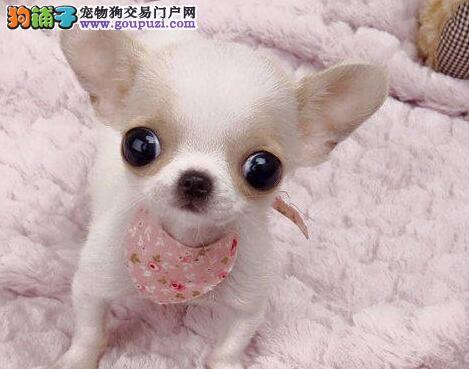 广州大型犬舍出售纯血墨西哥吉娃娃苹果头大眼睛