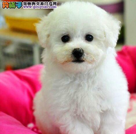 比熊北京最大的正规犬舍完美售后签订协议包细小犬瘟热
