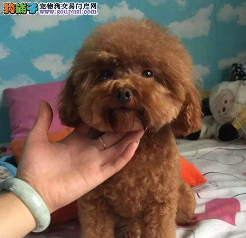 活泼可爱的南昌泰迪犬找新家 欢迎大家上门挑选狗狗