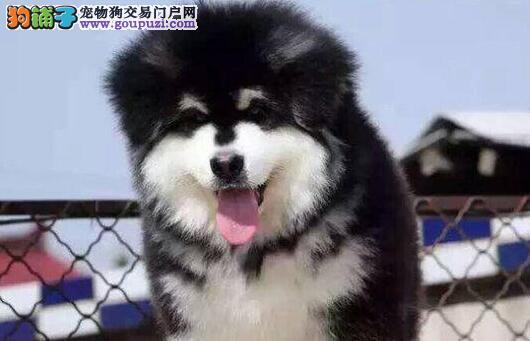 石家庄实体店面出售阿拉斯加犬 实物拍摄请您放心选购