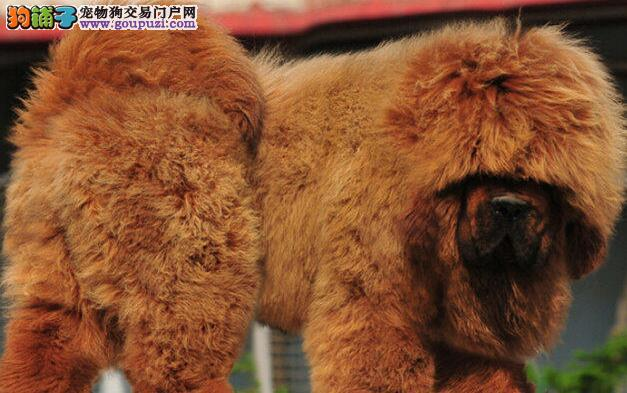 精品藏獒火热预定中 武汉的朋友可直接上门选购爱犬