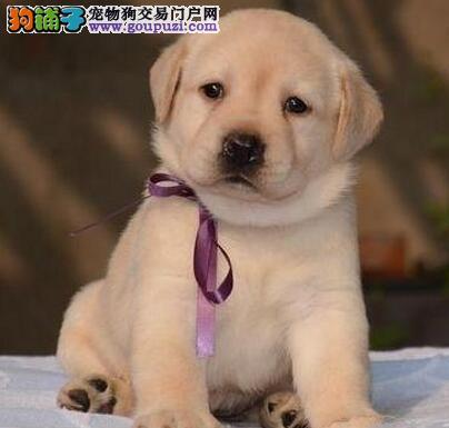 出售赛级纯种血统拉布拉多幼犬