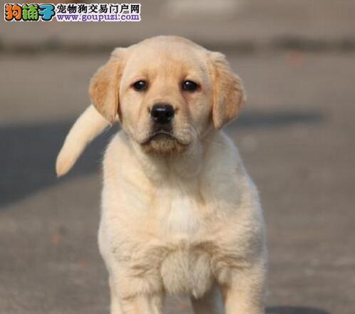 拉布拉多幼犬出售中、假一赔十品质第一、当天付款包邮