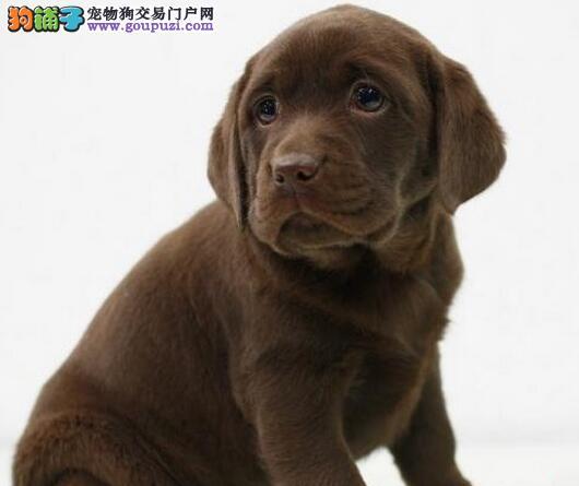 纯种拉布拉多幼犬武汉狗场直销 包健康签协议送用品