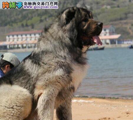 狗场专业繁殖纯种俄罗斯版高加索幼犬大骨架品质健康