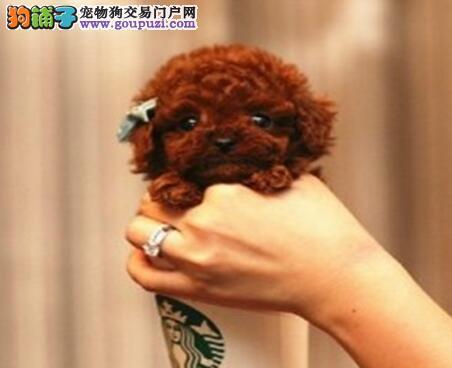 出售自家繁殖的呼和浩特泰迪犬 保证完美的售后服务