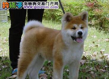 专业的秋田犬犬舍终身保健康周边免费送货