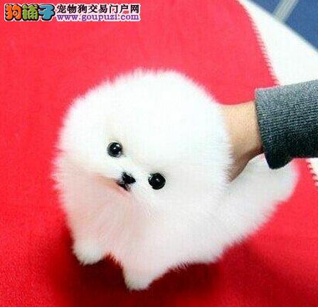 转让纯种哈多利版博美犬 哈尔滨地区有实体店可视频