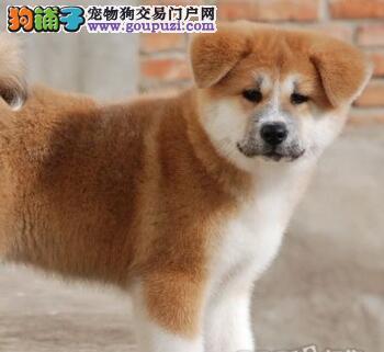 北京哪里有卖秋田纯种日本秋田犬 到 北京秋田犬舍