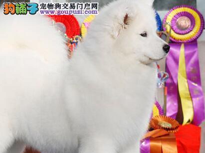 雪白温顺的北京萨摩耶犬寻找新主人疫苗齐全保健康