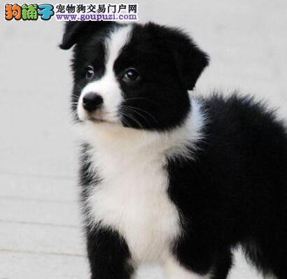 品相好高智商的广州边境牧羊犬出售欢迎前来选购