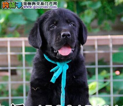 顶级兰州拉布拉多导盲犬转让 健康质保 可签订协议