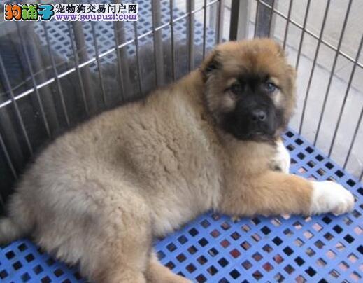 出售高加索犬幼犬高品质俄系大骨架护卫犬保纯种