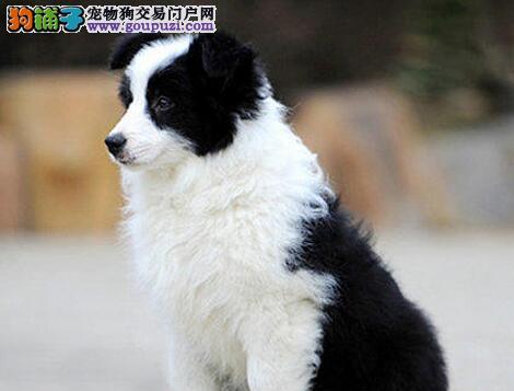 赛级边境牧羊犬幼犬,品质极佳品相超好,喜欢加微信