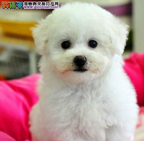 CKU犬舍认证天津出售纯种比熊签订保障协议