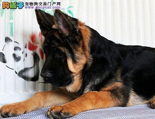 黑背弓腰骨骼健硕的珠海德国牧羊犬找新家 非诚勿扰