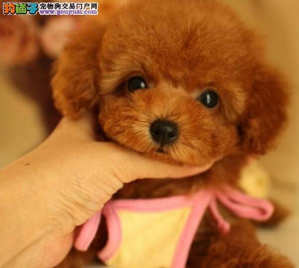 深红色公母均有的珠海泰迪犬找爸爸妈妈 疫苗已做好