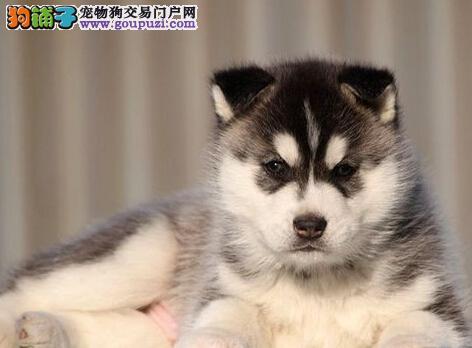 狗场出售纯种哈士奇幼犬 多只挑选保健康