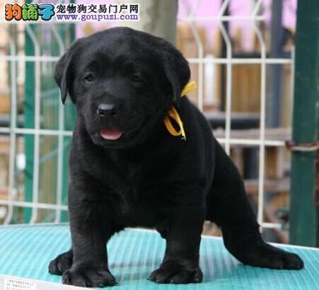 顶级纯血拉布拉多幼犬骨量足头版好 温州多颜色可挑选