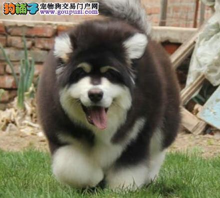 极品阿拉斯加犬出售、一宠一证证件齐全、可签保障协议