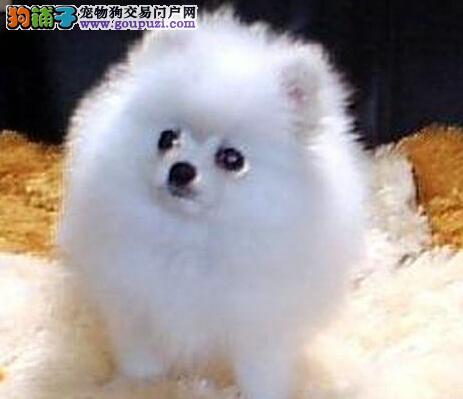 太原犬舍出售袖珍体型的博美犬 不纯种不要钱