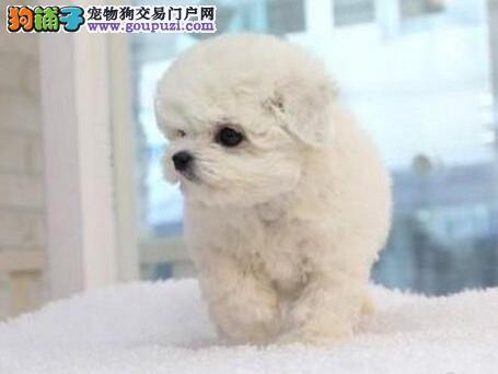 沈阳养殖场出售卷毛雪白色的比熊犬 我们承诺售后三包