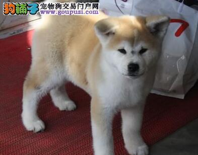 自家繁殖的厦门秋田幼犬火爆热卖中 请随时上门选购犬