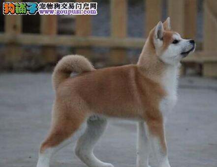 青岛知名犬舍低价出售毛色纯正的秋田犬 免费送货上门