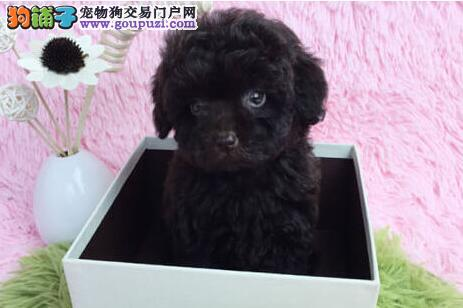 直销健康韩国血统泰迪犬 很可爱长春附近地区免费送狗