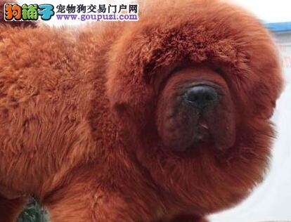 CKU认证犬舍 专业出售极品 藏獒幼犬质量三包完美售后