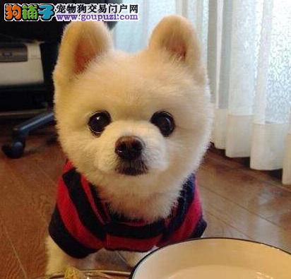 出售博美犬颜色齐全公母都有多种血统供选购