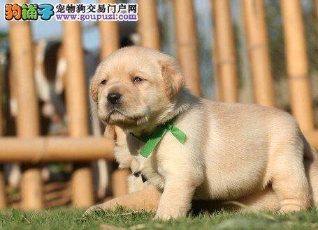 拉布拉多幼犬出售中,自家繁殖保健康,三包终生协议