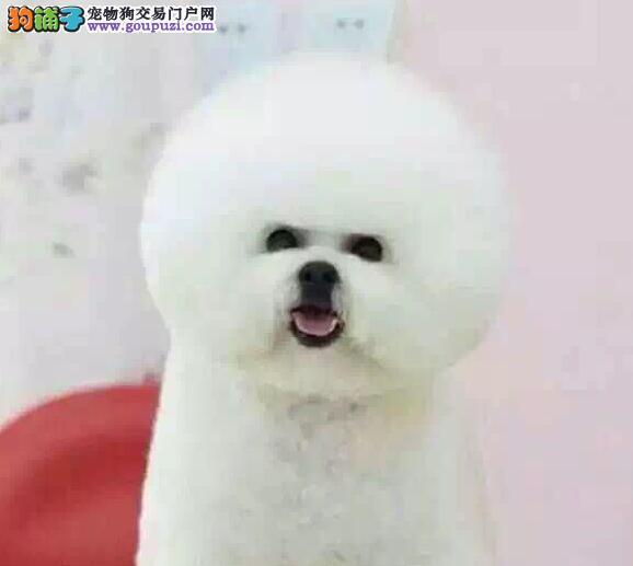 售棉花糖卷毛品相的南昌比熊犬 上门看狗有用品赠送