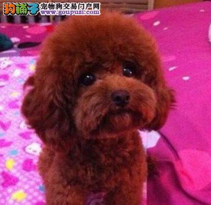 泰迪犬幼犬出售中,国际血统品相好,专业信誉服务