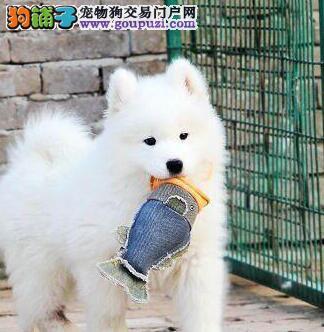 北京售微笑天使萨摩耶 小萨幼犬疫苗驱虫已做