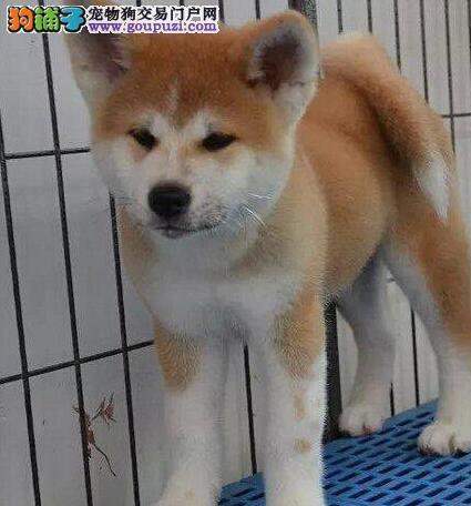 犬舍直销纯种日系的威海秋田犬疫苗齐全签协议