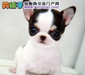 多种颜色的赛级吉娃娃幼犬寻找主人质保协议疫苗驱虫齐全