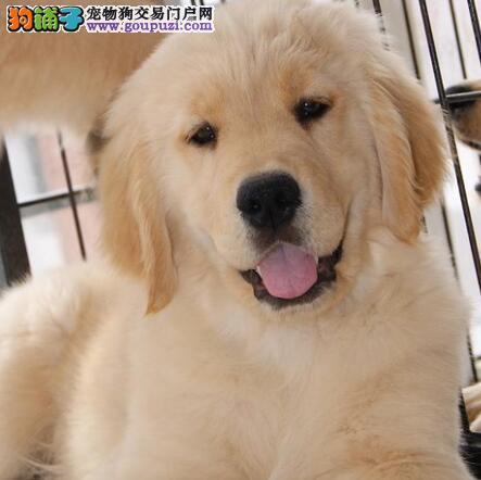 西安顶级犬舍直销金毛犬 有健康和血统证书