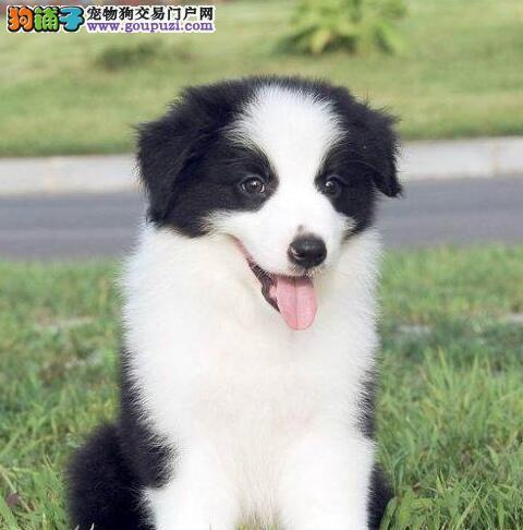 金昌热销边境牧羊犬颜色齐全可见父母国际血统认证