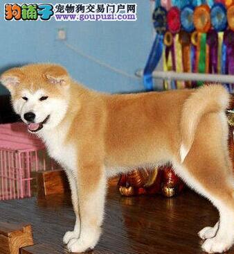 毛色纯正品相极佳的杭州秋田犬转让中 完善的售后服务