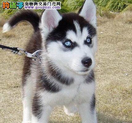 北京实体店低价促销赛级哈士奇幼犬支持全国空运发货