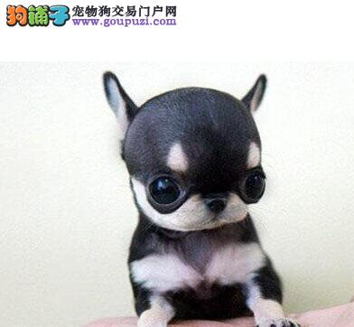 袖珍铁包金吉娃娃幼犬 签署质保协议 市内免费送货