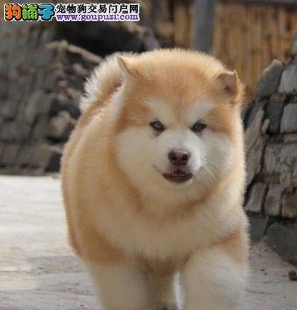 正规狗舍转让巨型熊版威海阿拉斯加雪橇犬