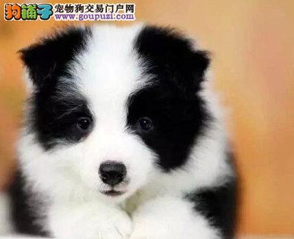 权威机构认证犬舍 专业培育边境牧羊犬幼犬欢迎爱狗人士上门选购